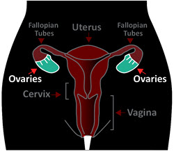 Diagram of ovaries